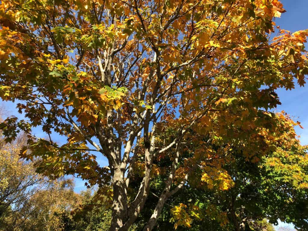 Maple tree with yellow leaves