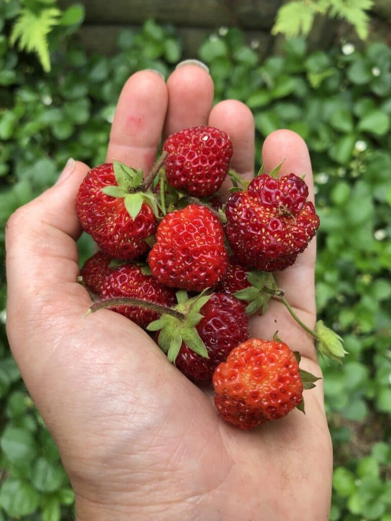 a hand holding strawberries