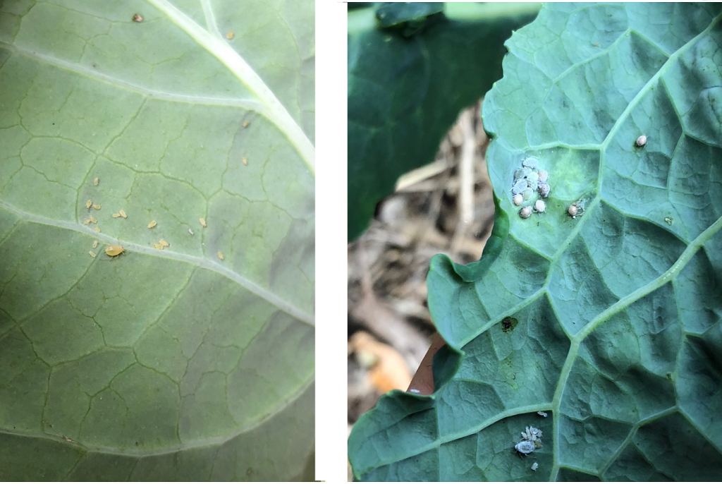 Aphids, bugs to look for