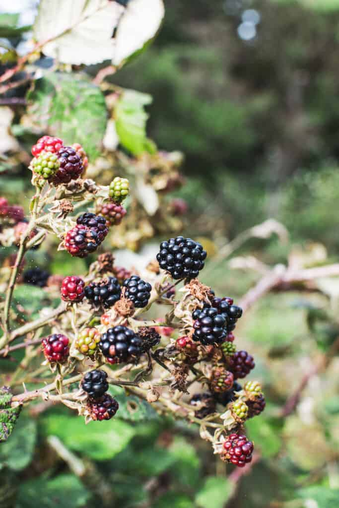 close up of a wild blackberry bush with ripe blackberries