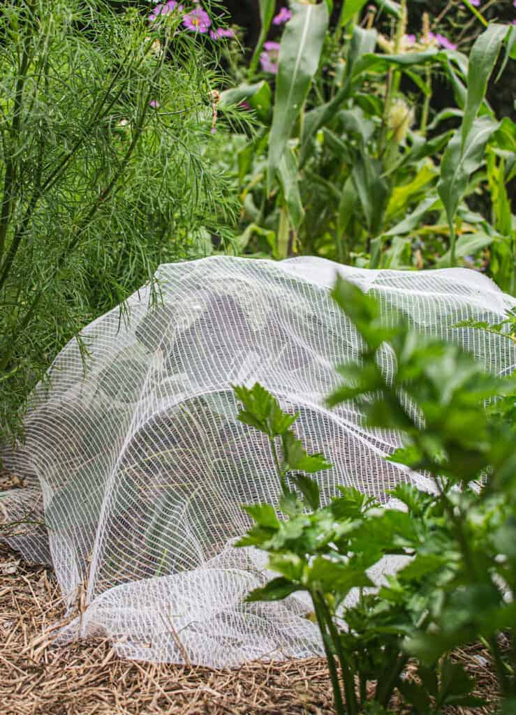 netted brassicas