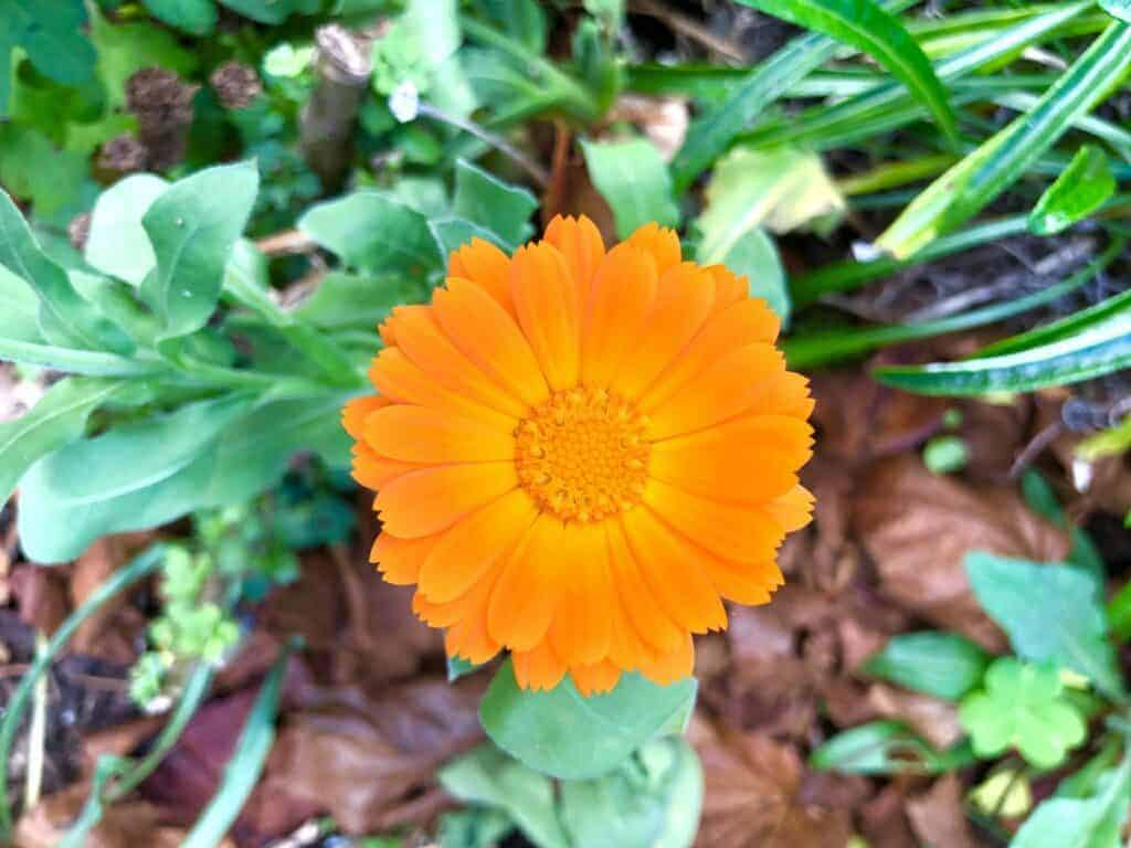 orange calendula flower
