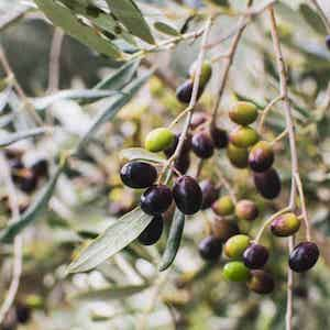 an olive tree with black olives