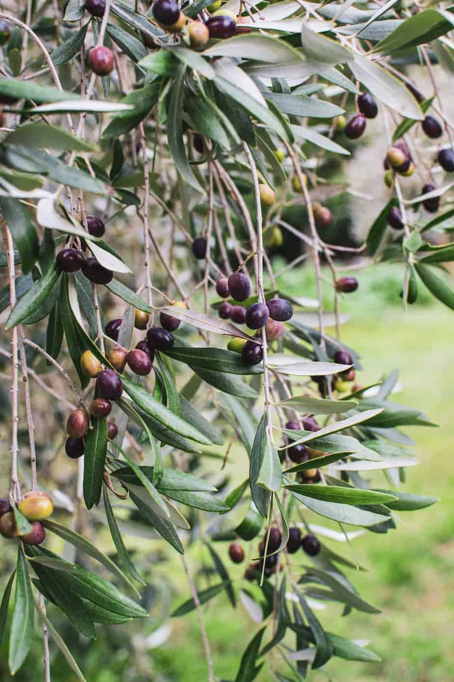 Olive tree with olives