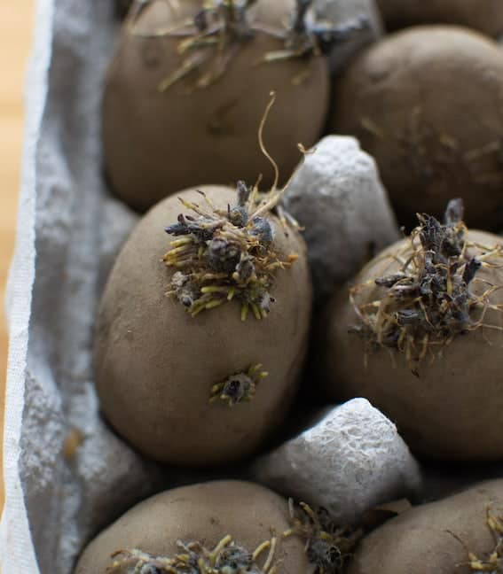 sprouted potatoes in egg carton
