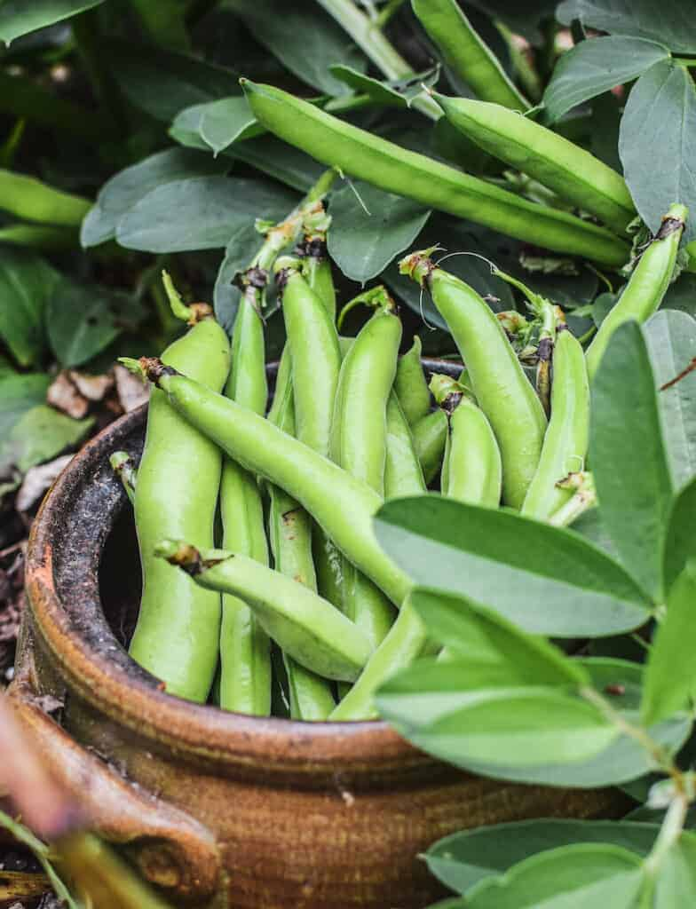 a pot of broad beans in the garden