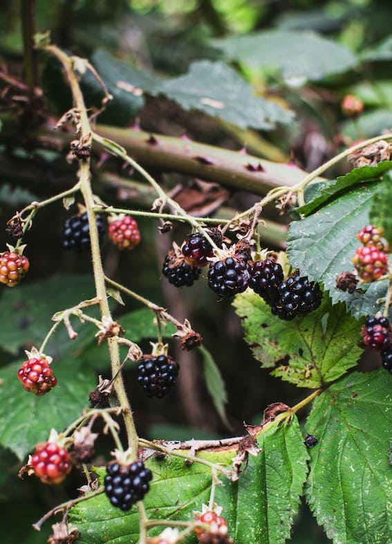 a wild blackberry bush with green leaves, black and red berries